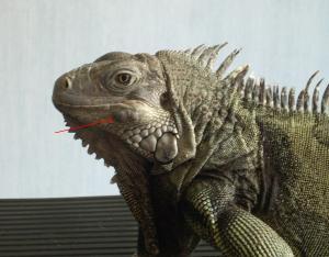 iguana1