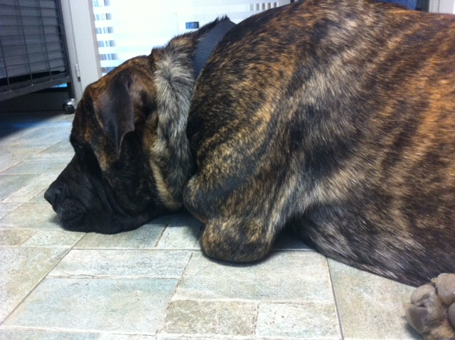 prostatite cronica nel cane vs